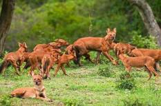 Pack_of_Dholes